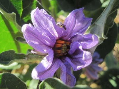 eggplantflower